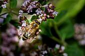Honey bee feeding on a buddleia