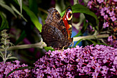 Butterfly 'peacock butterfly' foraging on a buddleia
