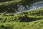 Fleeing chamois on the descent from Watzmann, Berchtesgaden Alps, Bavaria, Germany