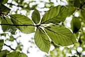 Young beech leaf, Rimsting, Bavaria, Germany