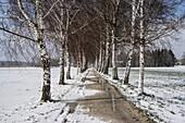 Birch avenue in the snow, Bernau, Bavaria, Germany