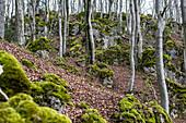 Beech forest in spring, Betzenstein, Frankenjura, Bavaria, Germany
