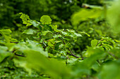 Young beech leaves in the Palatinate Forest, Hermersbergerhof, Rhineland-Palatinate, Germany