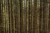 Spruce trunks, Mölschbach, Rhineland-Palatinate, Germany