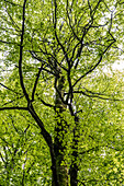 A beech tree in the Palatinate Forest, Hermersbergerhof, Rhineland-Palatinate, Germany