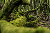 Deadwood in the Palatinate Forest (Naturwaldeservat), Hermersbergerhof, Rhineland-Palatinate, Germany