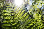 A fern in the Palatinate Forest, Hauenstein, Rhineland-Palatinate, Germany