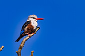 A kingfisher in the wild photographed in the African islands of Cabo Verde