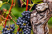 Blue grapes of the Regent variety grow on the slopes of the Palatinate