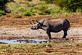 If you are lucky you will see black rhinos on the safari in the Etosha National Park in Namibia