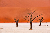 Dead trees in the salt-clay pan of the Dead Vlei of the Namib Desert in western Namibia