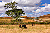 Colorful fields with grazing cows on a lonely road and a tree in Myanmar