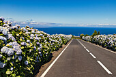 A lonely road on the Portuguese island of Flores in the Azores is lined with blue hydrangeas