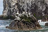 Bass Rock, Bird Island with Northern Gannet Colony, Scotland, UK