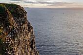 Northern Gannet Colony, Troup Head, near Pennan, Scotland, UK