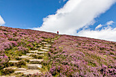 Ryvoan Walk, Meall a 'Bhuachaille, footpath with stone steps, bright purple, pink, flowering heather, Glenmore Forest Park, Cairngorms National Park, Scotland, UK