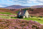Ryvoan Bothy a hiking hut, Cairngorms in summer with heather blossom, bright purple, pink, Highlands, Scotland, UK