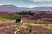 Ryvoan Bothy, hiker's cabin, Cairngorms in summer with heather blossom, bright purple, pink, Highlands, Scotland, UK