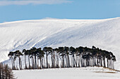 Winter snow, copse on road to Lecht Pass, Cairngorms, Tomintoul, A939, Highlands, Scotland, UK