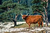 Highland Cattle, Glen Affric, Highlands, Scotland, UK