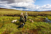 Grouse hunting, pickers collecting grouse with hunting dog, retriever, Highlands, Royal Deeside, Aberdeenshire, Scotland, UK