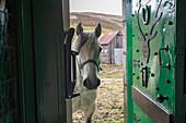 Garron Highland Pony peeks into doorway, Cairngorms, Royal Deeside, Aberdeenshire, Scotland, UK