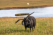Black Sheep, a Hebridean, breed of sheep with two pairs of horns, Cogaich, Summer Isles, Scotland UK