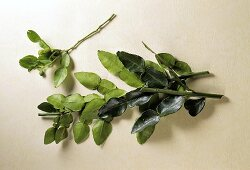 Kaffir leaves (spice and seasoning agent)