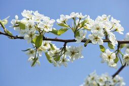 A spig of pear blossoms (variety: Williams pear)
