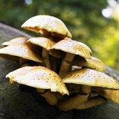 Honey fungus (Armillaria mellea) on tree trunk