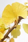 Ginkgo leaf with drops of water (close-up)