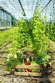 Crate of vegetables in greenhouse