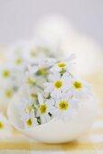 White primulas in eggshell