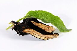 Comfrey root and leaf