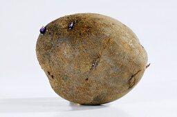A potato (variety 'Blue Salad Potato')