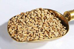 Grains of wheat in scoop