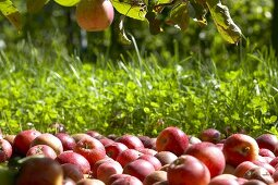 Apples, variety 'Benoni', under an apple tree