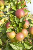 Apples, variety 'Ildrot Pigeon', on the tree