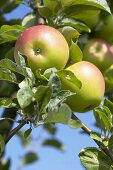 Apples, variety 'Landsberger Renette', on the tree