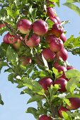 Red apples, variety 'Mitchgla', on the tree