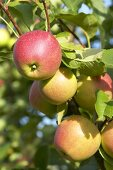 Apples, variety 'Sweet Caroline', on the tree