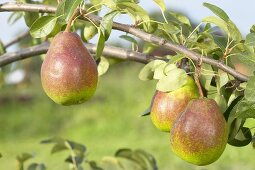 Pears, variety 'Bonne Louise d'Avranche', on the branch