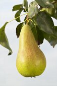 Pear, variety 'Concorde', on the branch