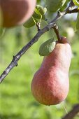 Pears, variety 'Rode Williams', on the branch