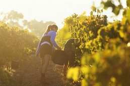 Grape picking, Leeuwin Estate, Margaret River, W. Australia