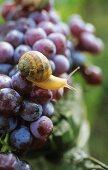 Snail on Dornfelder grapes, Palatinate, Germany