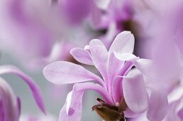 A pink star magnolia (Magnolia Loebneri Leonard Messel)