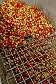Äpfel werden sortiert
