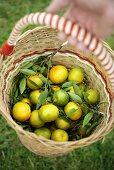 Hand holding basket of fresh mandarin oranges