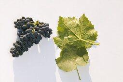 Red wine grapes, variety 'Blauer Spätburgunder'